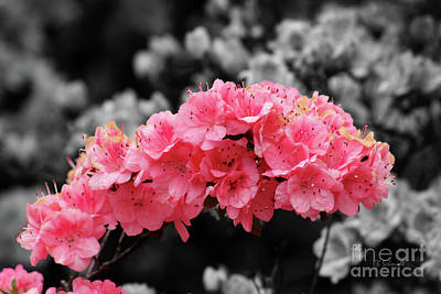 Photograph - Beautiful Azaleas by E B Schmidt