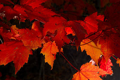 Beautiful Backlit Autumn Maple Leaves Art Print by Darrell Young