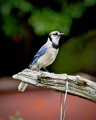 Photograph - Beautiful Backyard Blue Jay by Carol Bradley