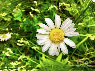 Photograph - Beautiful Backyard Daisy by Elizabeth Dow