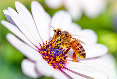 Photograph - Beautiful Bee On Daisy by Anna Om