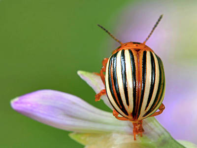 Photograph - Beautiful Beetle by Carolyn Derstine