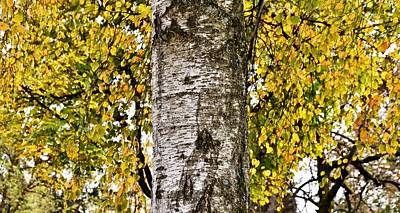 Photograph - beautiful Birch tree by Werner Lehmann