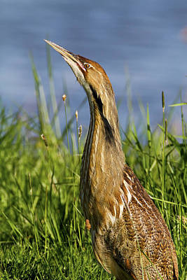 Photograph - Beautiful Bittern Day by Craig Strand