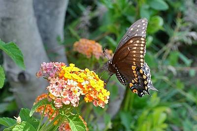 Photograph - Beautiful Black Swallowtail Butterfly by Kim Bemis