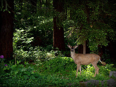 Photograph - Beautiful Black Tailed Buck by Jeanette C Landstrom