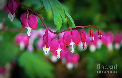 Photograph - Beautiful  Bleeding Hearts by Robert Bales