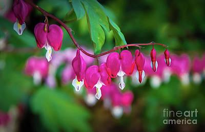 Photograph - Beautiful  Bleeding Hearts by Robert Bales