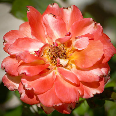 Photograph - Beautiful Bloom by Laurel Powell