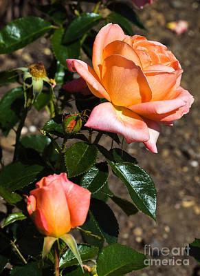 Floribunda Photograph - Beautiful Bloom Of The Rose Atlantic Star by Louise Heusinkveld