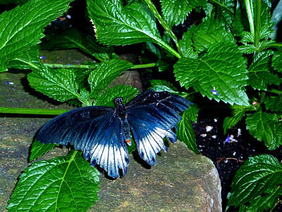 Photograph - Beautiful Blue Butterfly by Claire Bull