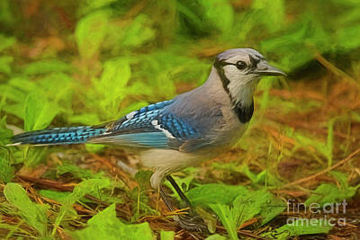 Painting - Beautiful Blue Jay by Deborah Benoit