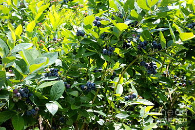 Photograph - Beautiful Blueberries With Green Leaves by Carol Groenen