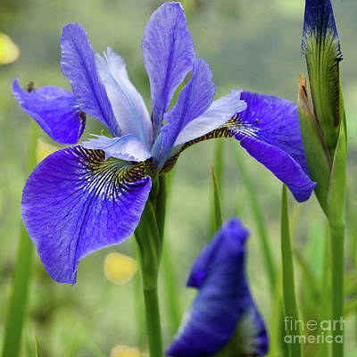 Photograph - Beautiful Blues by Liz Alderdice