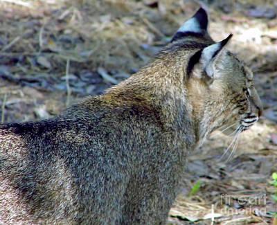 Photograph - Beautiful Bobcat by D Hackett