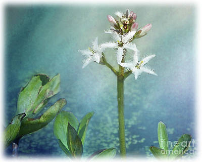 Digital Art - Beautiful Bog Bean by Liz Alderdice