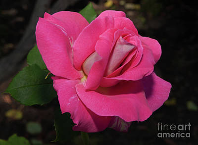 Photograph - Beautiful Bon-bon Rose by Glenn Franco Simmons