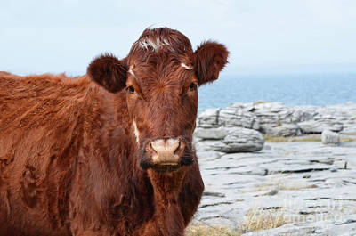 Photograph - Beautiful Brown Cow On The Burren In Ireland by DejaVu Designs