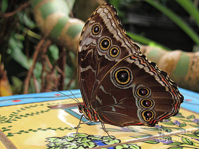 Photograph - Beautiful Buckeye Butterfly by Kelly Holm