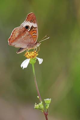 Photograph - Beautiful Buckeye by Dawn Currie