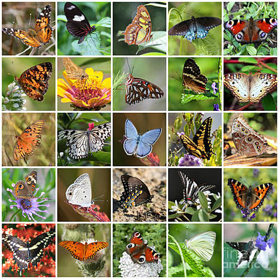 Photograph - Beautiful Butterflies Collage by Carol Groenen