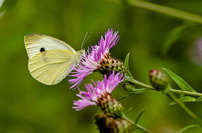 Beautiful Butterfly On Pink Thistle Art Print