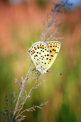 Photograph - Beautiful Butterfly Sitting On Flower And Feeding. Macro Detail Of Tiny Creature. Spring Season, Czech Republic by Marek Kijevsky