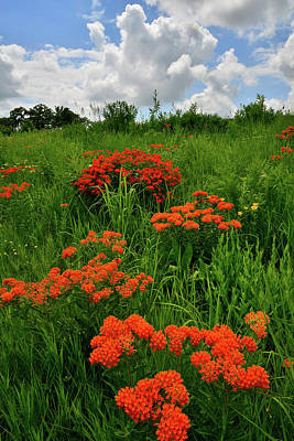 Photograph - Beautiful Butterfly Weed In Glacial Park by Ray Mathis