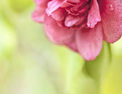 Photograph - Beautiful Camellia Macro Drops 1 by Marianne Campolongo