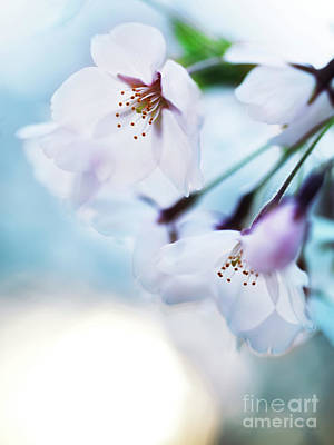 Sakura Photograph - Beautiful Cherry Blossom Flowers On Blue Sky Background by Awen Fine Art Prints