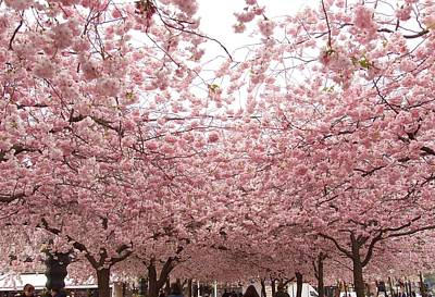 Photograph - Beautiful Cherry Blossom In Stockholm In May by Tamara Sushko