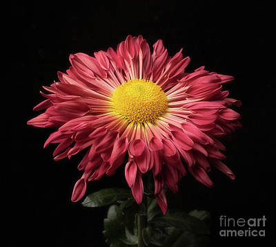 Beautiful Chrysanthemum Art Print