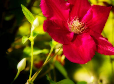 Photograph - Beautiful Clematis by Barry Jones