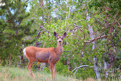 Photograph - Beautiful Colorado Doe Mule Deer by Steve Krull