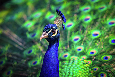 Peacock Photograph -  Beautiful Colorful Peacock - Blue And Green Bird Wall Art by Wall Art Prints
