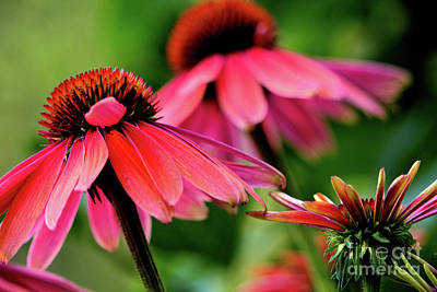 Photograph - Beautiful Coneflowers by Victor K