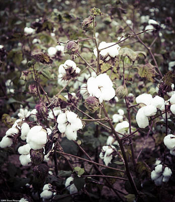 Photograph - Beautiful Cotton  by Debra Forand