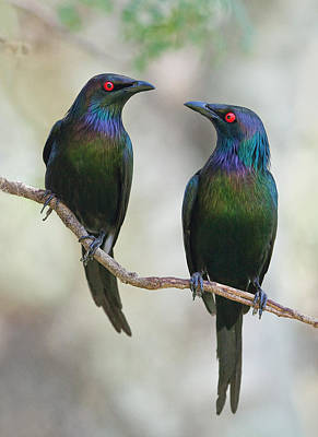 Starlings Photograph - Beautiful Couple by Jacqueline Hammer