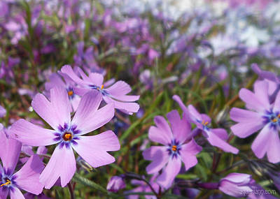 Beautiful Creeping Purple Phlox Art Print