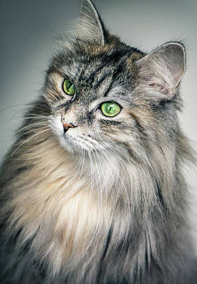 Cute Kitten Photograph - Beautiful Cute Fluffy Long Hair Cat With Green Eyes - Pet Portra by Wall Art Prints