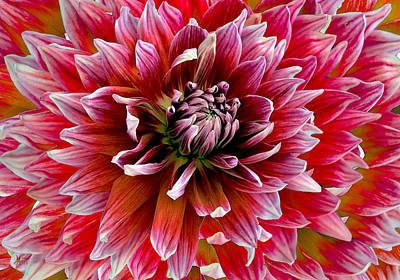 Photograph - Beautiful Dahlia by Michele Avanti