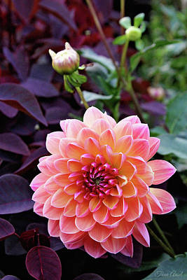 Beautiful Dahlia Art Print