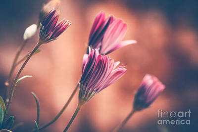 Photograph - Beautiful Daisy Flowers by Anna Om
