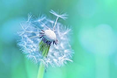 Dandelion Photograph - Beautiful Dandelion by Oksana Ariskina