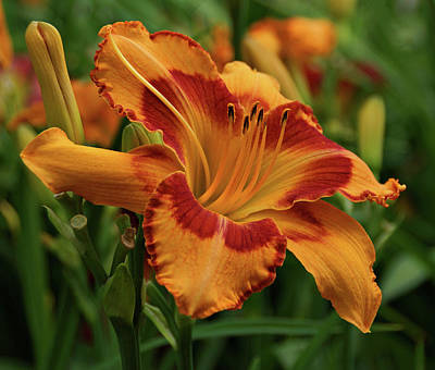 Photograph - Beautiful Daylily by Sandy Keeton
