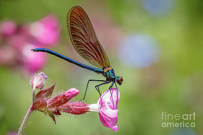 Photograph - Beautiful Demoiselle by Andy Brown