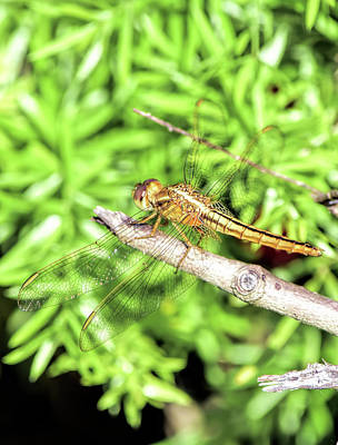 Photograph - Beautiful Dragonfly by William Tasker
