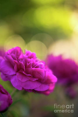 Photograph - Beautiful Dusk Peonies by Mike Reid