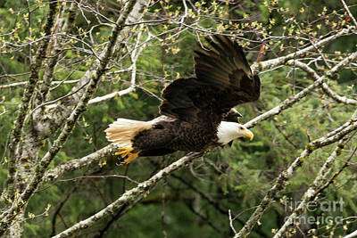Photograph - Beautiful Bald Eagle Sitka Alaska by Loriannah Hespe
