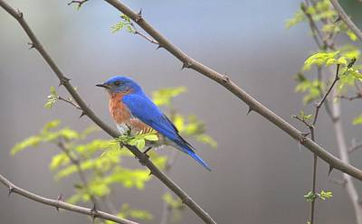 Photograph - Beautiful Eastern Bluebird by Living Color Photography Lorraine Lynch